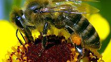 Erschreckende Nachrichten kamen vor einigen Jahren aus den USA zu uns. Millionenfach und spurlos verschwanden die Bienen aus ihren Stöcken.
