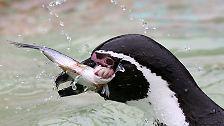 ... eine Pinguinart, ...
