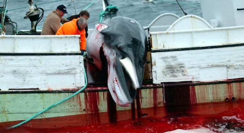 Walfang ist eine umstrittene und blutige Praxis, ...