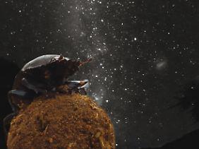 Ein Mistkäfer sitzt auf einer Dungkugel, im Hintergrund ist der Sternenhimmel zu sehen.
