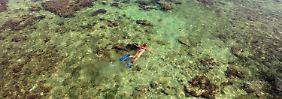 Karibische Riffe in Gefahr: Korallen wachsen zu langsam