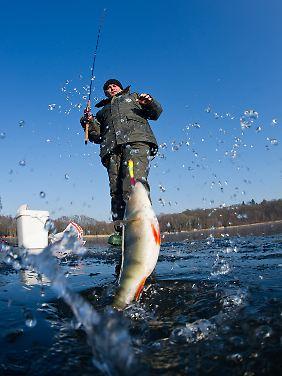 Psychopharmaka, die mit dem Abwasser in die Gewässer gelangen, verändern Forschern zufolge das Verhalten von Fischen.