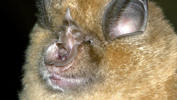 Fledermäuse verändern die Lautstärke und die Tonhöhe ihrer Laute unabhängig voneinander.
