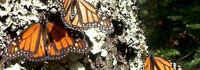 Monarchfalter überwintern in den frostigen Bergregionen Mexikos.