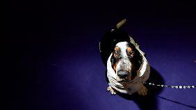 Bassets gelten als verspielte Familienhunde, die nicht gern alleine sind.