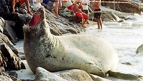 Falsch abgebogen: Seeelefant legt Verkehr lahm