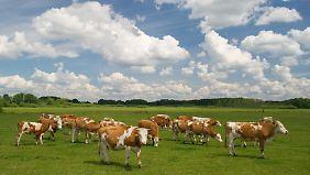 4,2 Millionen Kühe werden in Deutschland gehalten. In den neuen Bundesländern herrschen Großbetriebe vor, im Süden findet man oft Betriebe mit weniger als 30 Tieren.