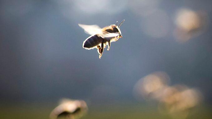 Honigbienen geben mit Hilfe von elektrischen Feldern Informationen weiter.