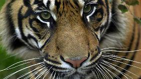 Was, wenn man sich plötzlich einem Tiger gegenüber sieht? Überdosierung kann zu bedrohlichen Halluzinationen führen.