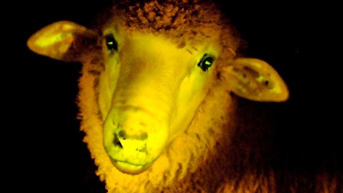 Eins der leuchtenden Schafe in UV-Licht.
