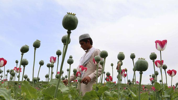 Afghanistan baut seine Vormachtstellung auf dem globalen Opiummarkt weiter aus.