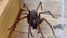 Von grazil bis gruselig: Die größten Spinnen Deutschlands