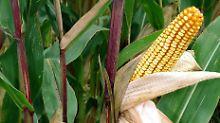 19 Staaten reichen Antrag ein: Mehrheit der EU will Gen-Mais verbieten