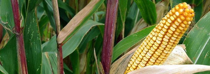 Gentechnisch veränderte Maispflanze.