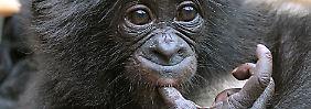 Die Ursprünge der Sprache: Affenbabys zeigen menschliche Gesten