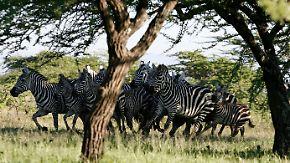 Zebras flüchten in der Herde vor Angreifern.