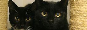 Wenn Katzen lediglich in der Wohnung gehalten werden, scheidet eine Belästigung des Vermieters oder anderer Mitmieter durch herumlaufende Katzen aus.