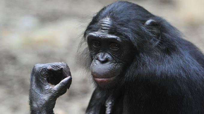 Sexwillige Bonobo-Weibchen gehen in Konflikten mit Männchen häufig als Siegerinnen hervor. Die Männchen verhalten sich dann weniger aggressiv.