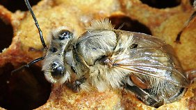 Eine Biene ist an ihrem Hinterleib von einer Varroa-Milbe befallen. Diese gilt als eine der größten Bedrohungen für die Imkerei.