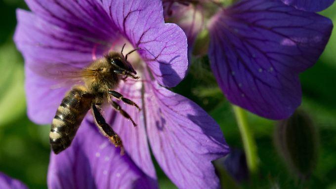Die Bienen konnten in diesem Jahr erst spät mit der Ernte beginnen. Der Winter ist schuld.