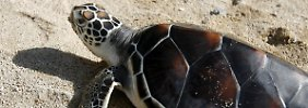 Die Meeresschildkröten haben sehr empfindliche Augen. Diese Eigenschaft kann ihnen nun das Leben retten.