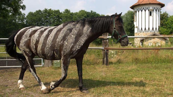 Das Muster soll gegen stechende Insekten helfen: Wallach mit aufgemalten Zebrastreifen aus einer Wasser-Mehl-Mischung auf einem Reiterhof in Niedersachsen.