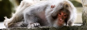 Einzigartig im Tierreich: Rhesusaffen rufen ganz bewusst