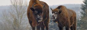 Artensterben vorerst gestoppt: Europäische Wildtiere vermehren sich wieder