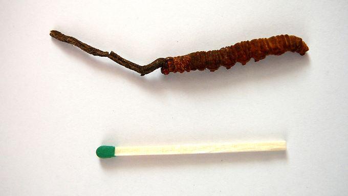 Im Größenvergleich: ein Streichholz und ein Raupenpilz, der aus einer abgestorbenen Raupe herauswächst.