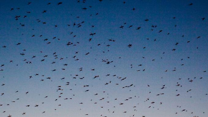 Sie sind lästig, rauben den Schlaf und kommen bald in Scharen: Stechmücken.