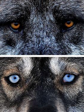 Vom Wolf zum Hund: Jäger und Sammler in Europa domestizierten das Tier zuerst.