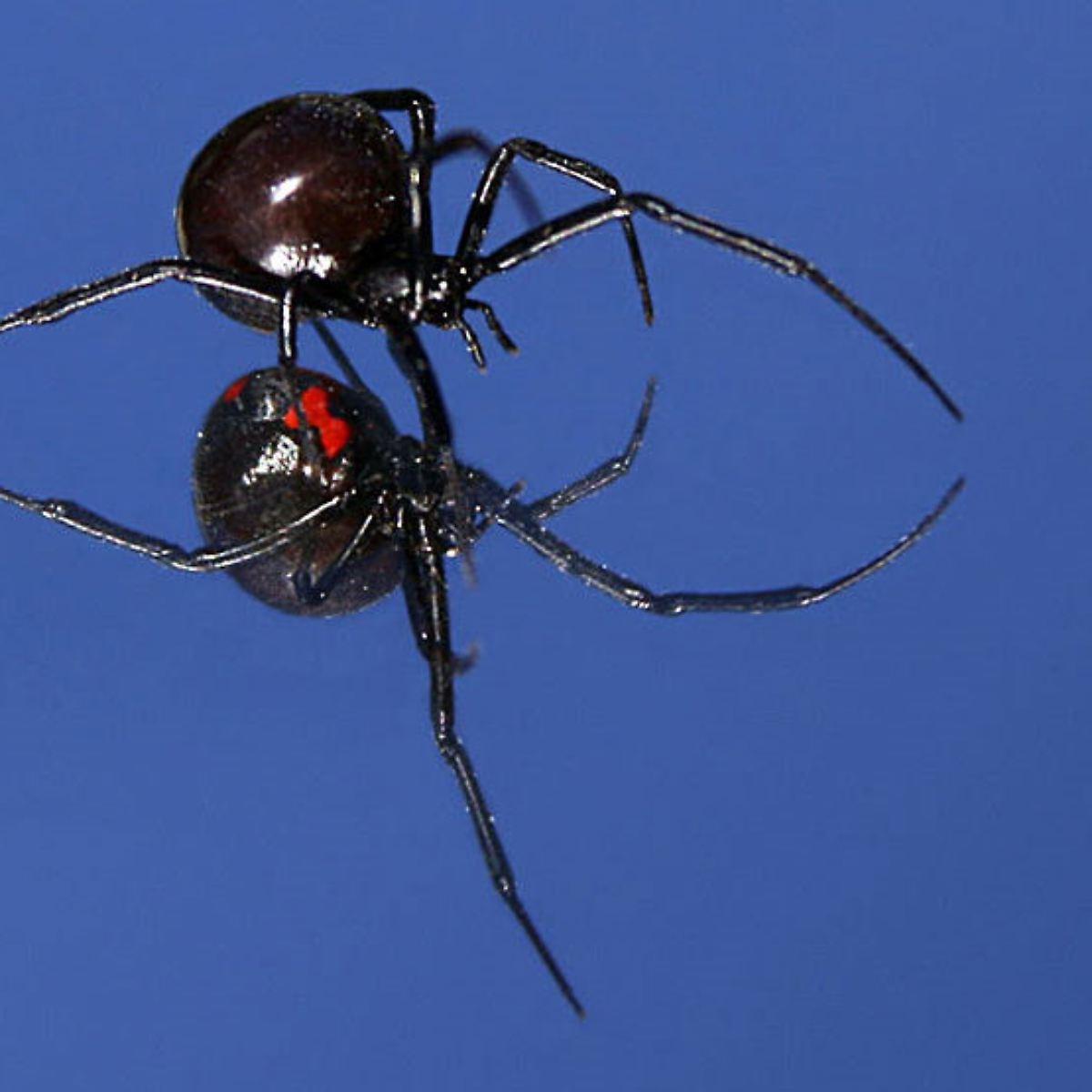 Witwe deutschland schwarze Spinnen