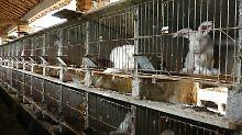In schäbigen Käfigen: Angora-Kaninchen in China.