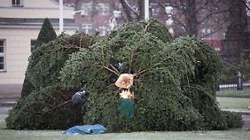 Hielt dem Sturm nicht stand: Der Weihnachtsbaum im Garten von Schloss Bellevue.