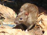 Pest-Welle auf Madagaskar: WHO warnt vor Ausbreitung