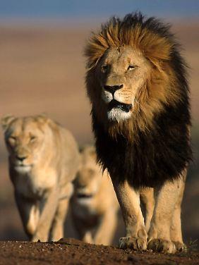 Die Löwenpopulation in Westafrika macht ein Prozent des Bestandes auf dem gesamten Kontinent aus.