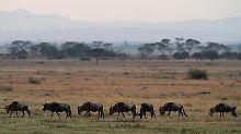 Staaten sagen Wilderern den Kampf an: Drohnen über der Serengeti