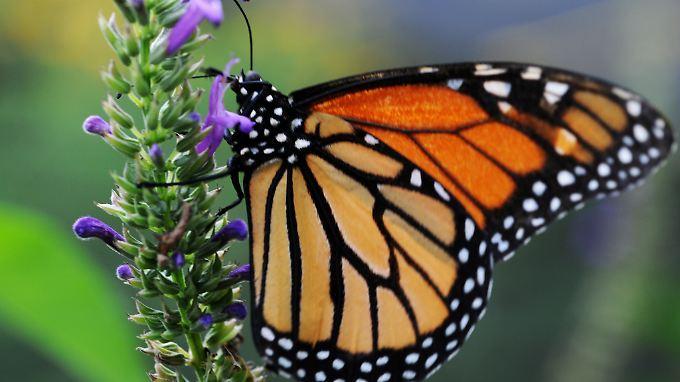 Vor allem Pestizide setzen den orange-rot gezeichneten Schmetterlingen zu.