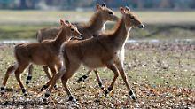 Paarhufer kommen auf den Geschmack: Indische Antilopen sind süchtig nach Opium