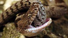 Von Gift und Würgegriffen: Schlangen: dämonisiert, verehrt, gefürchtet
