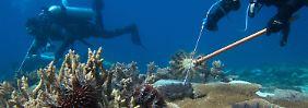 Dornenkrone bedroht Barrier Reef: Taucher töten Killerseesterne mit Giftspritzen