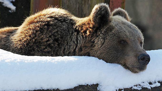 Noch sehen es die Bären gelassen, aber sie wittern ihre Chance am deutschen Aktienmarkt.