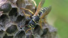 """""""Eine kleine wissenschaftliche Sensation"""": Wespe als neue Art entlarvt"""
