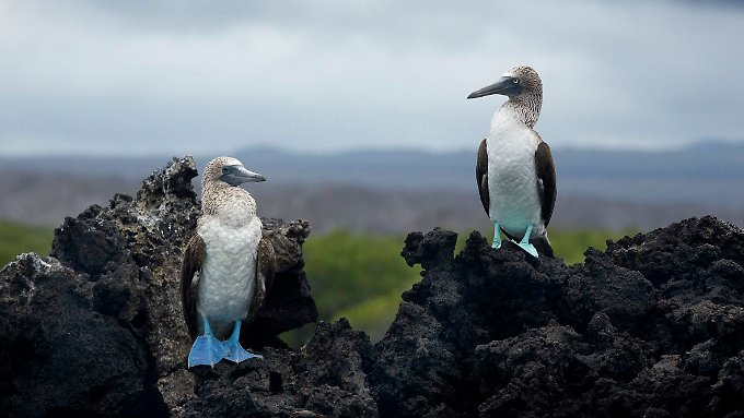 Blaufußtölpel auf Galapagos: Monogamie verhilft den  Meeresvögeln zu mehr Nachwuchs.