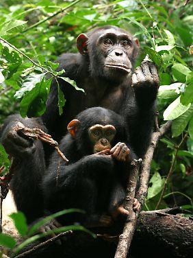 Schimpansenweibchen mit Nachwuchs im Tai-Nationalpark an der Elfenbeinküste.