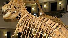 Ein rund 74 Millionen Jahre altes Original-Skelett eines Tyrannosaurus bataar wurde auch schon im Braunschweiger naturhistorischen Museum ausgestellt. Es war eine Leihgabe eines Moskauer Museums.