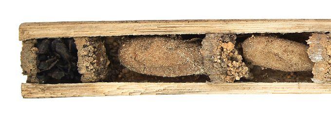 gruselige kinderstube wespenart sch tzt larven mit toten ameisen n. Black Bedroom Furniture Sets. Home Design Ideas