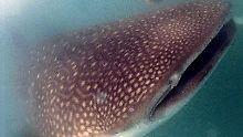 Riesige Tiere ziehen Taucher an: Walhai-Gruppe bringt Millioneneinnahmen