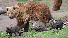 """Braunbärin mit Jungtieren (Archivbild): """"Dass eine Bärenmutter sich schützend vor ihre Jungen stellt, ist wohl eines der wenigen Erkenntnisse der Verhaltensforschung, die jedem bekannt sein dürften"""", meint Ex-Ministerin Brambilla."""