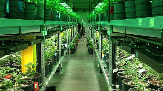 """Nächster """"Goldrausch"""" in den USA?: Cannabis-Legalisierung in US-Staaten lockt Investoren"""